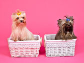 Two puppies inside baskets — Stock Photo