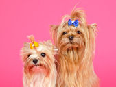 A couple of Yorkshire Terriers portrait — Stock Photo