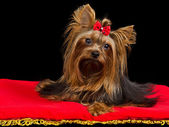 Yorkshire Terrier on red cushion — Stock Photo