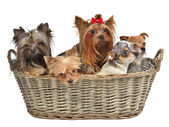 Five cute dogs in a basket — Stock Photo