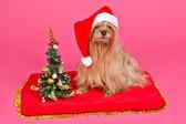 Santa Claus dog with Christmas Tree — Stock Photo