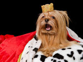 Takling royal dog with crown and gown — Stock Photo