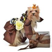 Dog wearing luxurious dress with gift box — Stock Photo