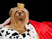 Королевская собака с короной и бальное платье — Стоковое фото