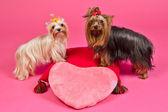 Iki yorky köpek ile sevgililer pembe kalp — Stok fotoğraf