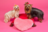 Two Yorky dogs with Valentines pink heart — Stok fotoğraf