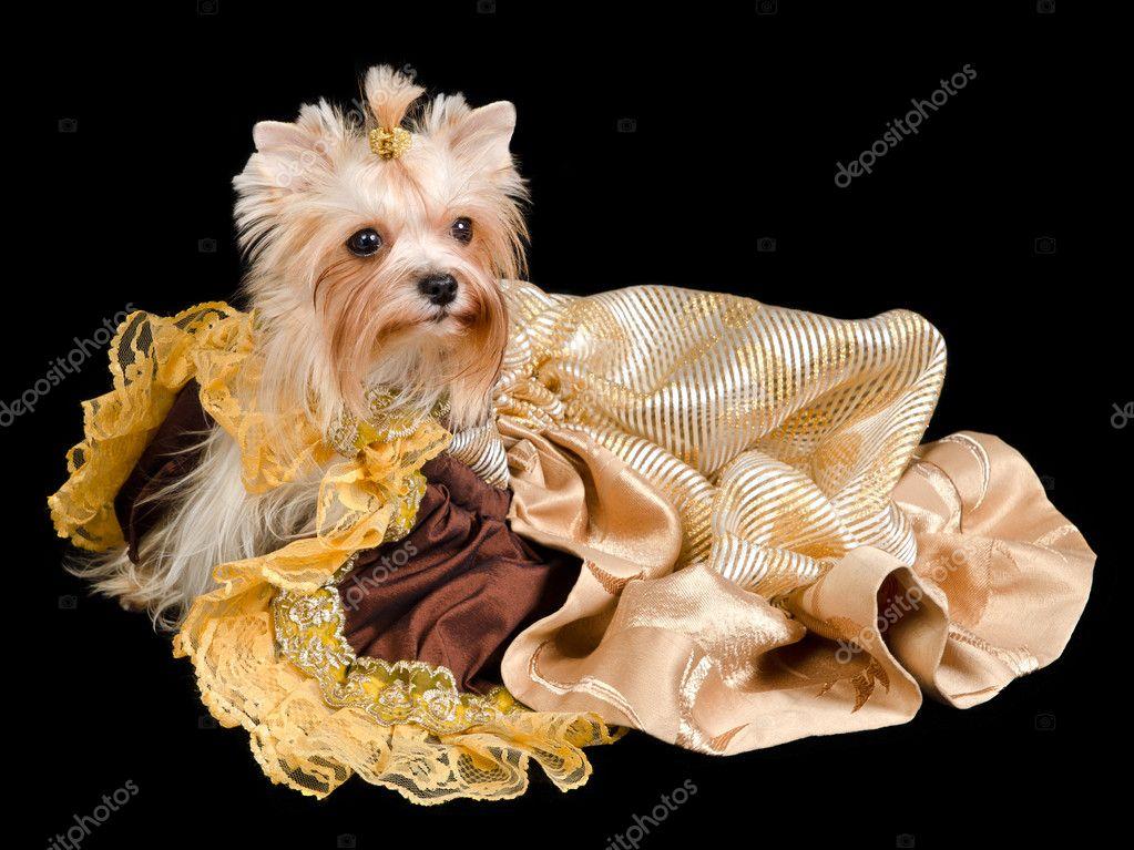 Фото йоркширский терьер в платье