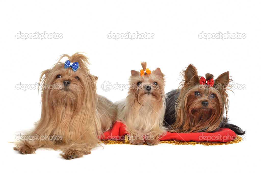 Group of Yorkshire Terrier dogs resting, isolated on white background  Stock Photo #8289511