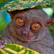 Tarsier under a leaf — Stock Photo