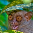 Tarsier — Stock Photo #8293564