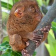 Tardier on a tree - Stock Photo