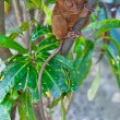 Tarsier on a branch - Stock fotografie