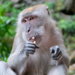 Monkey eating - Stock Photo