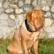 Dogue De Bordeaux portrait — Stock Photo