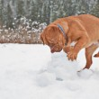 Puppy playing with snow ball — Stock Photo