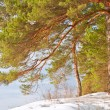 Stock Photo: Snowy pine