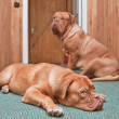 Two guard dogs in front of the door — Stock Photo