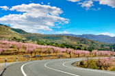 Almond Trees Blooms on both sides of a road, Spain — Stock Photo
