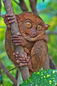 Tarsius en la madera — Foto de Stock