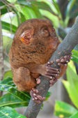 Tardier on a tree — Stock Photo