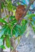 Tarsio su un ramo — Foto Stock