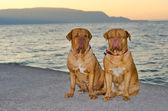 Dogs at the sunset pier — Stock Photo