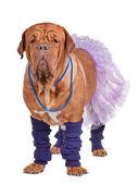 Hond met rok en been warmers — Stockfoto