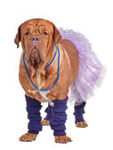 Dog with skirt and leg warmers — Stock Photo