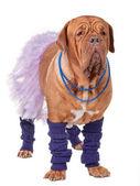 Ballerina dog — Stock Photo