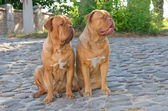 Twee honden op de straat — Stockfoto