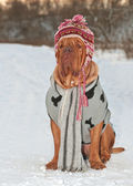 Dog dressed with hat, scarf and sweater — Stock Photo