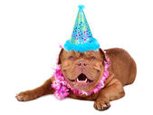 French Mastiff puppy with in party cone — Stock Photo