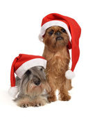 Bearded Santa dogs with red hats — Stock Photo