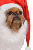 Funny bearded Santa dog — Stock Photo