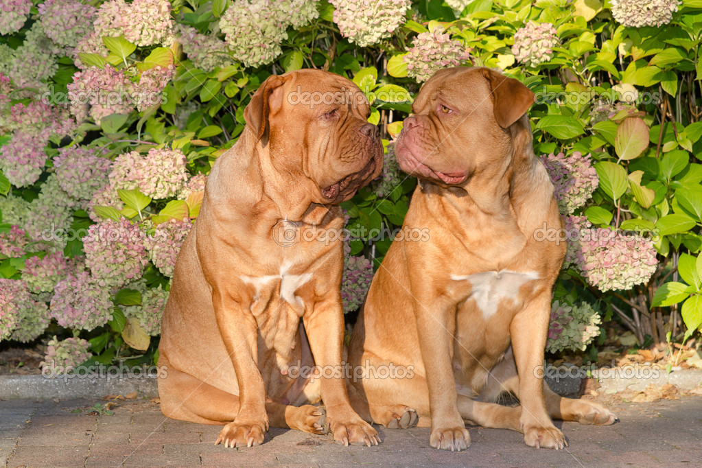 Two dogues de bordeaux sitting in front of flowers in the garden — Stock Photo #8296982