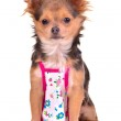 Chihuahua puppy dressed with apron like cook chief, isolated — Stock Photo #8334043