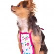 Chief chuhuahua puppy wearing apron isolated — Stock Photo #8334089