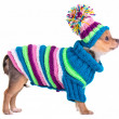 Chihuahua puppy dressed with handmade colorful sweater and hat, isolated on - Stock Photo