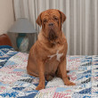 Stock Photo: Dogue De Bordeaux puppy sitting on the bed with patchwork quilt
