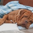 Dogue De Bordeaux Dog Sleeping Sweetly in Owner's Bed — Stock Photo #8334812