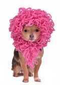 Chihuahua puppy wearing funny pink wig isolated — Stock Photo
