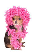 Chihuahua puppy wearing knitted curly pink hat and scarf — Stock Photo