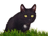 Czarny kot zielonooki za trawy na białym tle — Zdjęcie stockowe