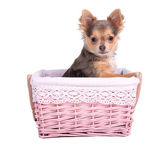 Chihuahua puppy girl (bitch) in pink basket — 图库照片