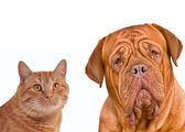 Close-up portrait of brown cat and dog — Stock Photo