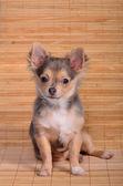 Chihuahua szczeniak siedział na tle desek — Zdjęcie stockowe