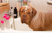 Schoonmaken van de hond van dogue de bordeax ras in bad. — Stockfoto