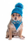 Puppy Funnily Dressed For Cold Weather Isolated On White. Sitting Four Mont — Stock Photo
