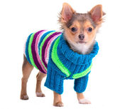 Chihuahua puppy dressed with colorful sweater and hat, standing, looking at — Stock Photo