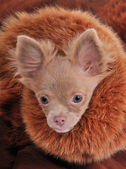 Rich chihuahua with chic fur brown collar — Stock Photo